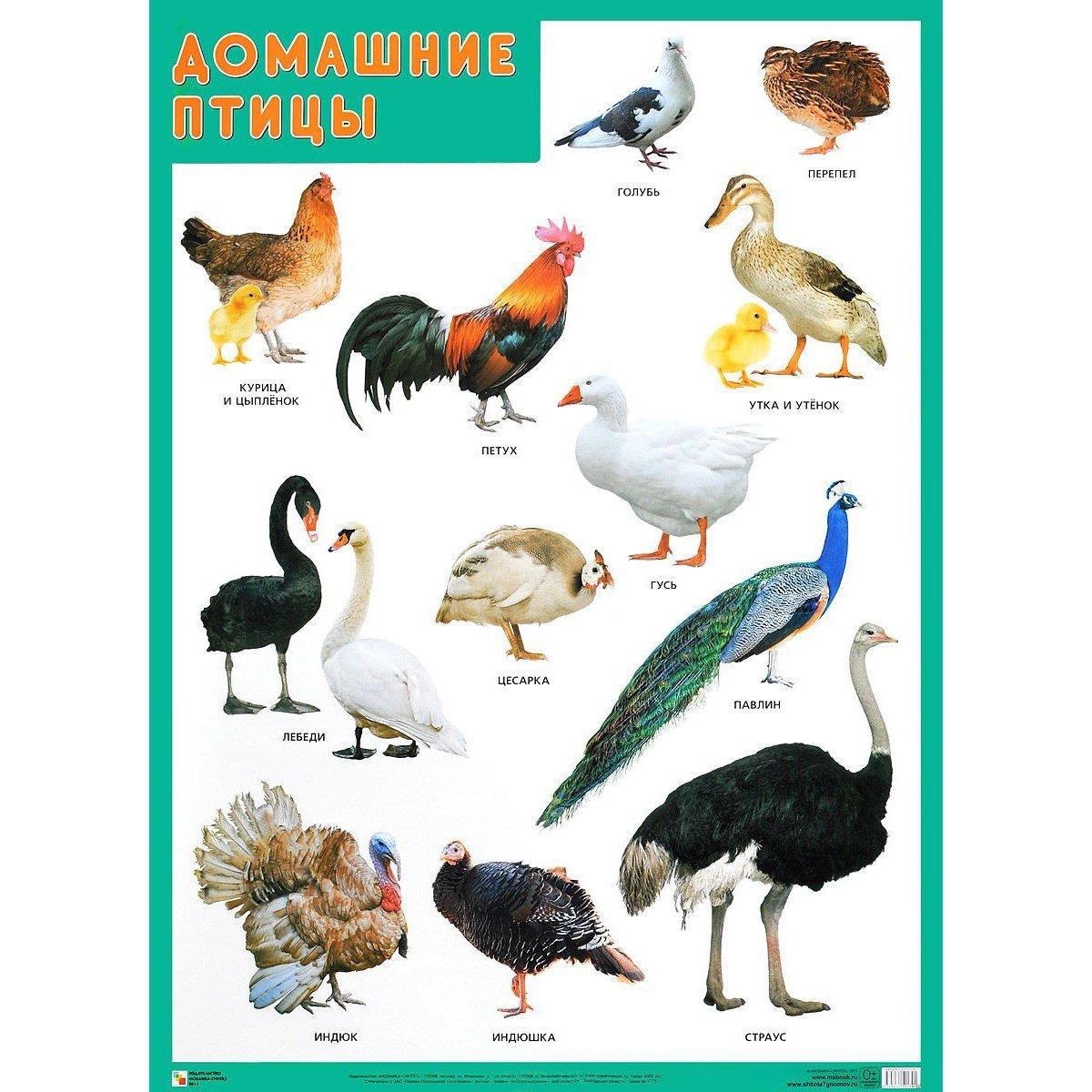 домашние птицы обучающие картинки нас